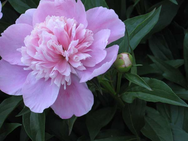 Peony from 2007