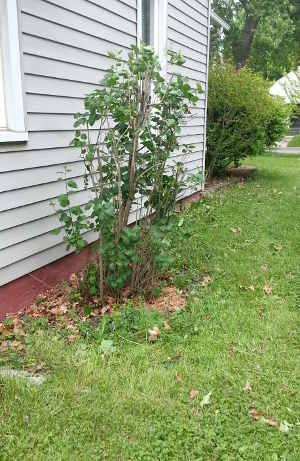 Lilac bush by house