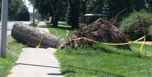 A fallen tree crushing the sidewalk