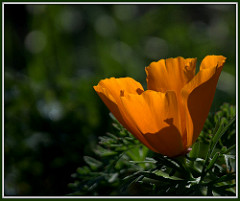 An orange poppy blooming in a field