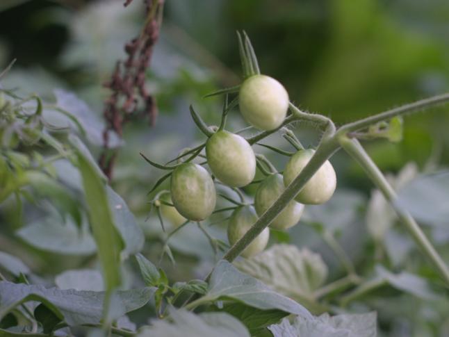 Unripe grape tomatoes