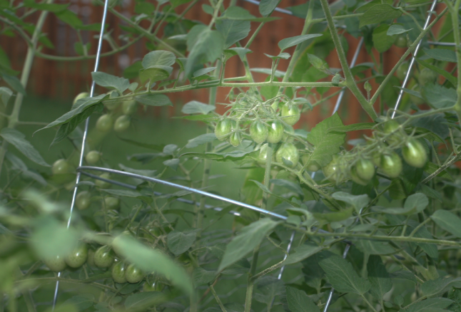 Grape tomatoes among some vines